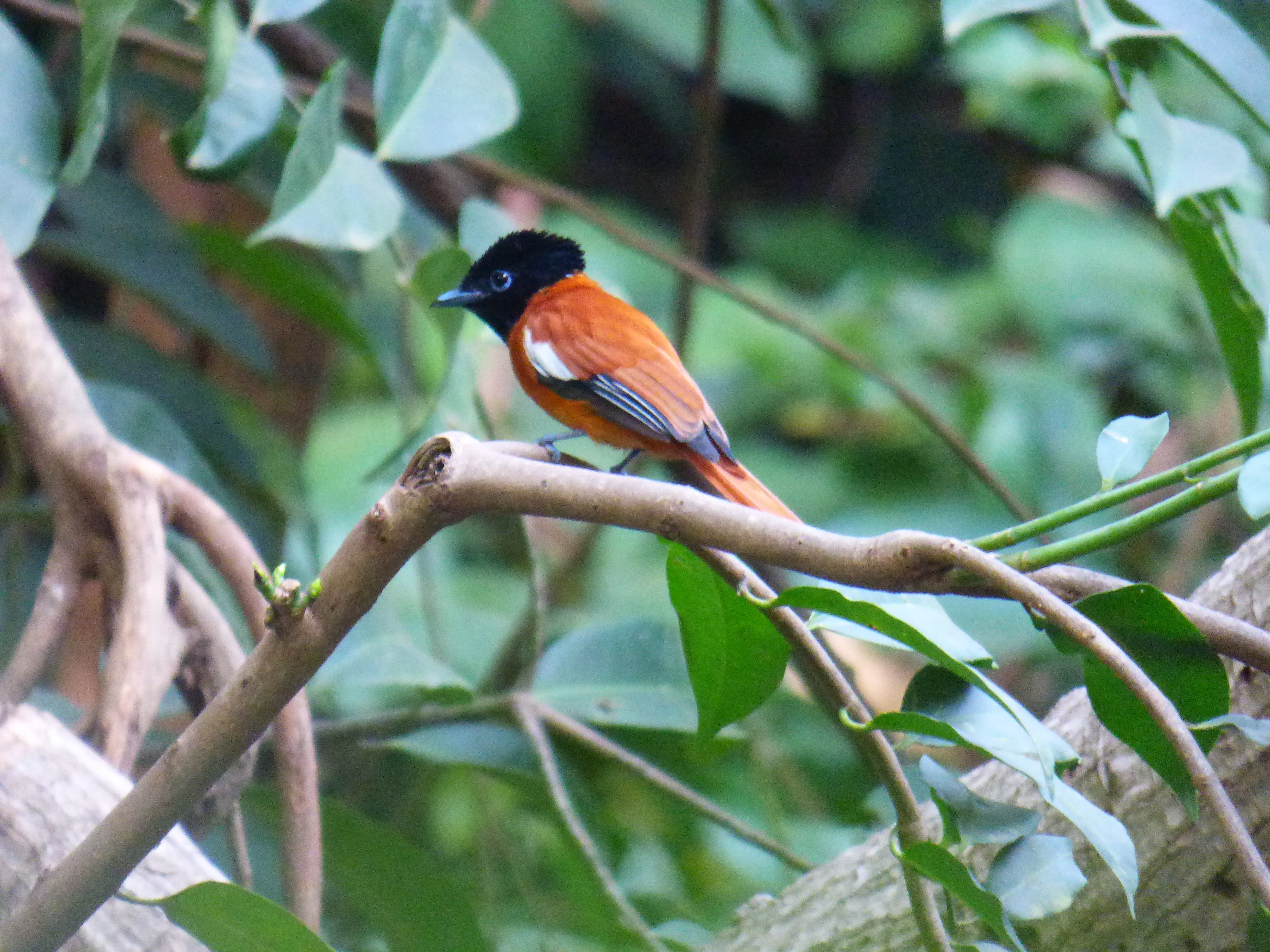 Red Bellied Paradise Fly Catcher. Foto: Jan Artursson