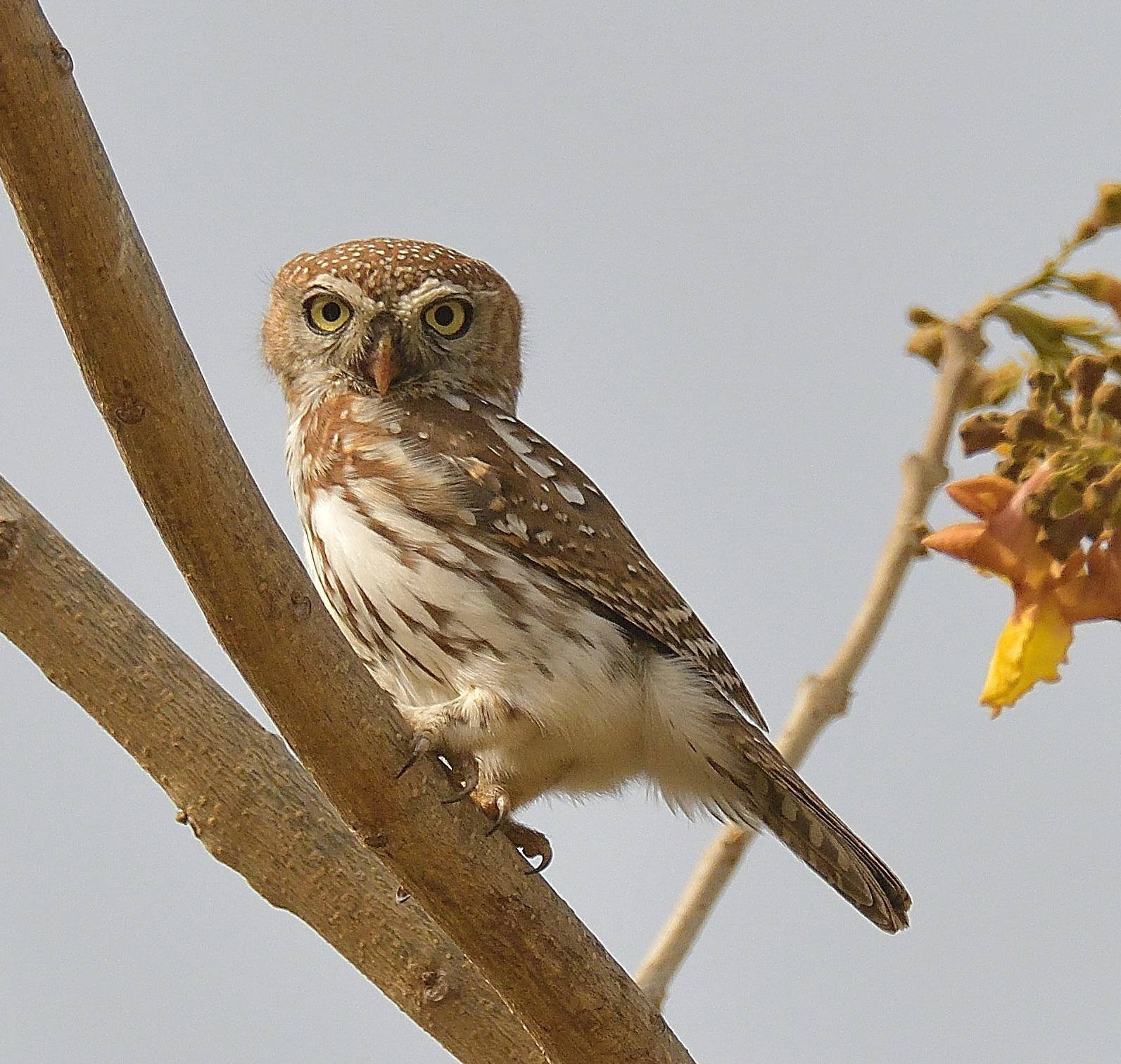 Pearl Spotted Owlet. Photo: Ton Bos
